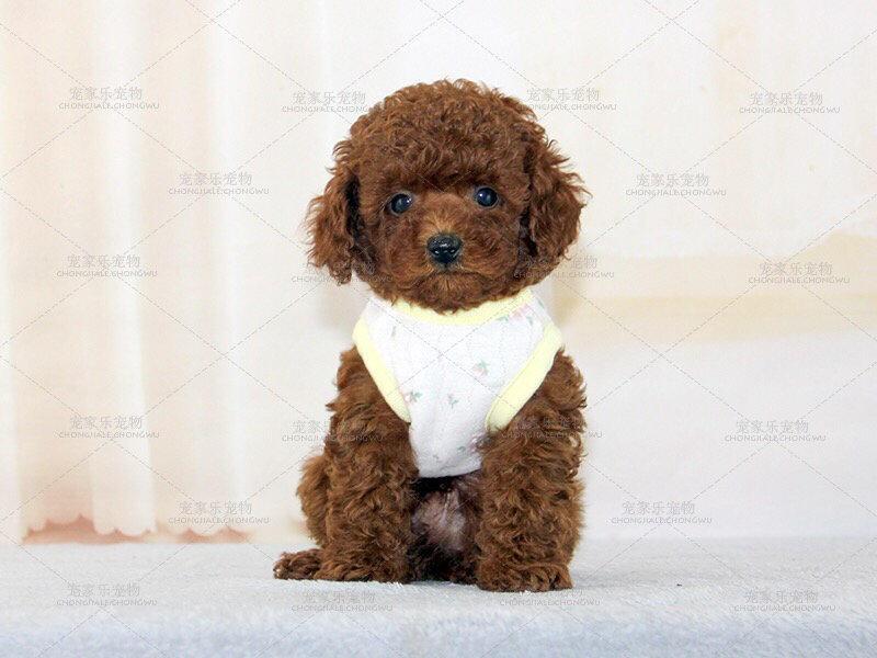 出售纯种贵宾犬 纯度100%保证健康 专业信誉服务