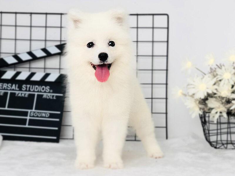繁殖纯白色纯血统萨摩耶犬出售 双眼皮微笑天使