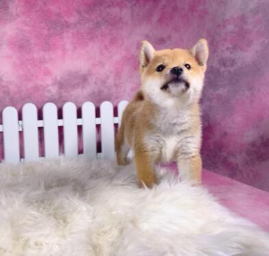 精品柴犬幼犬出售,纯种健康,签订协议,全国发货