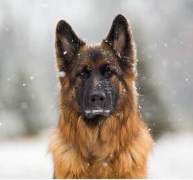 顶级优秀锤系德国牧羊犬 包纯种健康购买有赠品