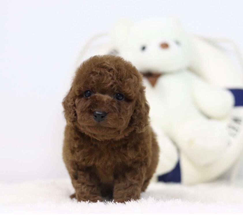繁殖基地出售多种颜色的贵宾犬优质售后服务