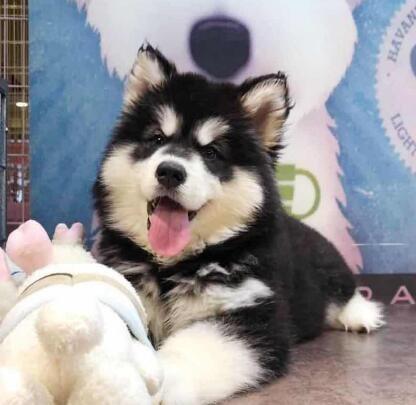 出售高端阿拉斯加犬 精心繁育品质优良 当天付款包邮
