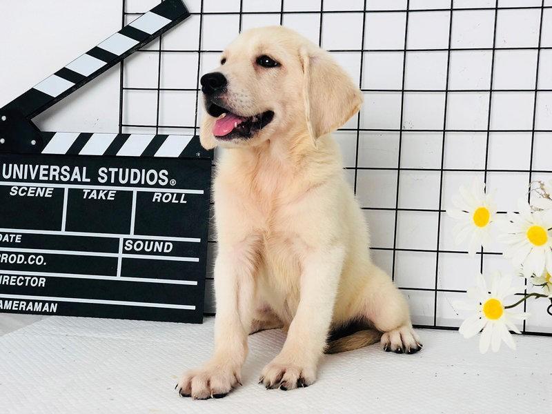 国内最具规模的赛级拉布拉多犬舍,保纯种保健康