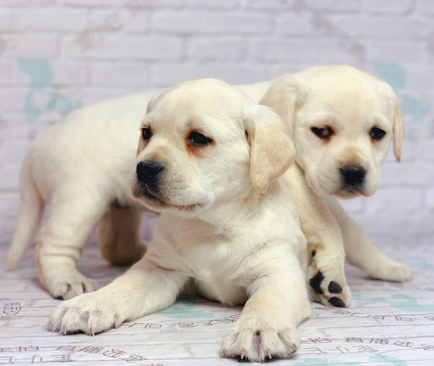 精品拉布拉多犬包活、带健康证签协议