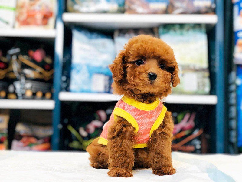 完美品相血统纯正茶杯犬出售赛级品质血统保障