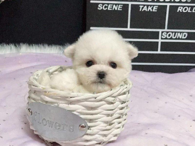 实物拍摄的茶杯犬找新主人爱狗人士优先狗贩勿扰