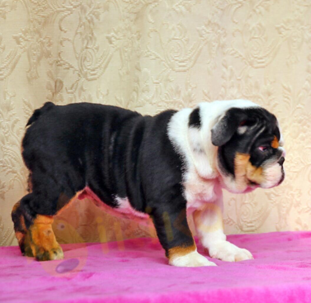 国内最具规模的高品质英国斗牛犬犬舍,保纯种保健康