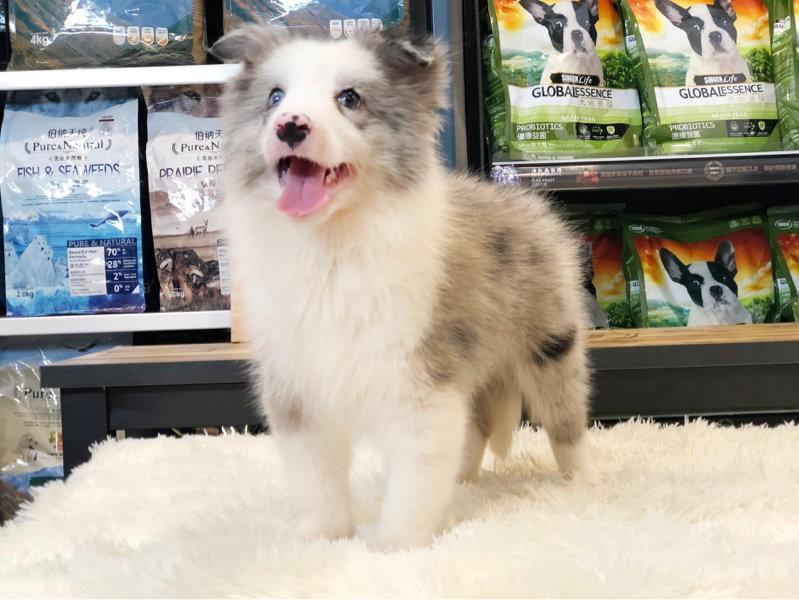多种颜色的边境牧羊犬找爸爸妈妈金牌店铺有保障