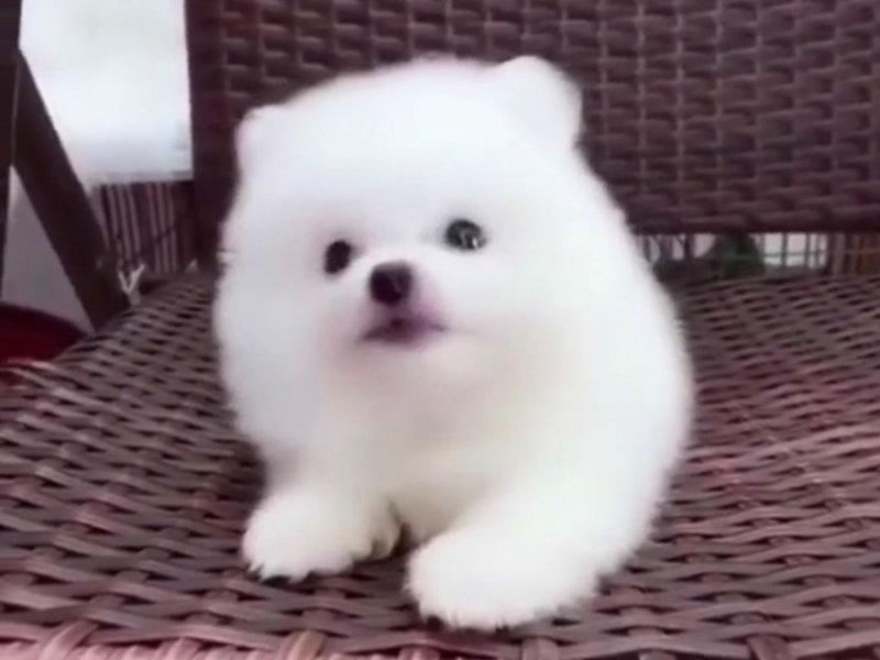 出售正宗血统优秀的博美犬真实照片视频挑选