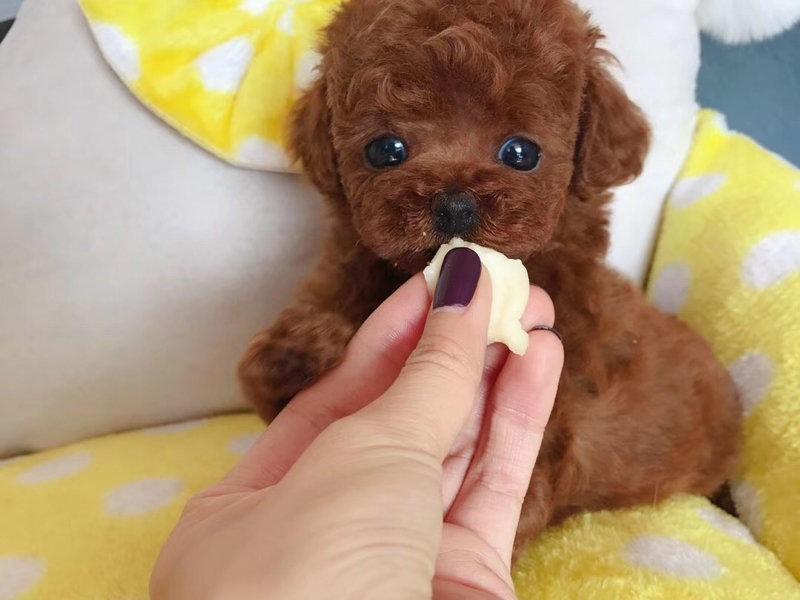 热销多只优秀的纯种茶杯犬幼犬CKU认证绝对信誉保障