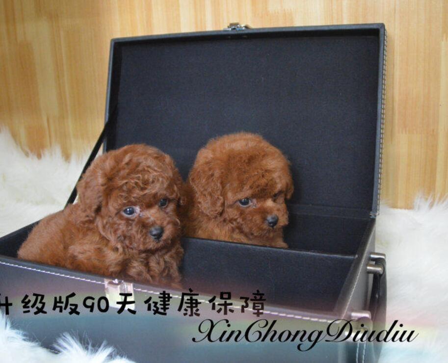 直销精品棕色咖色泰迪犬 爆毛圆脸泰迪熊签署协议