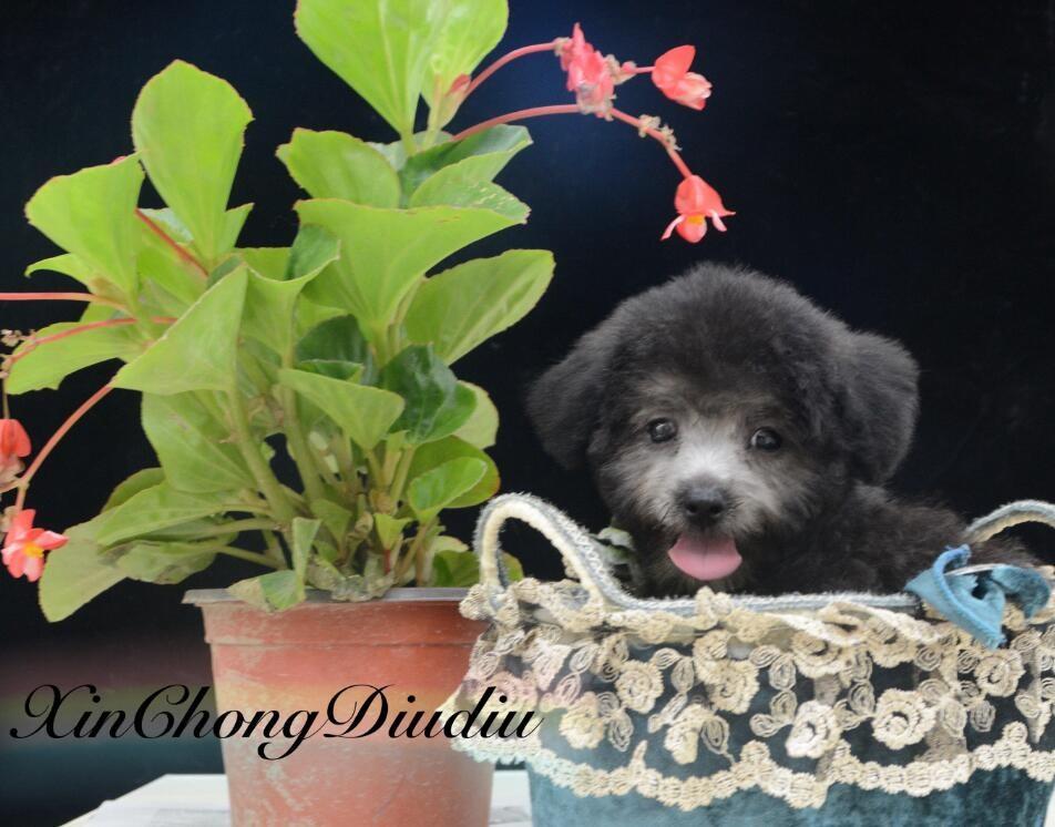 多种颜色的茶杯犬找爸爸妈妈提供护养指导