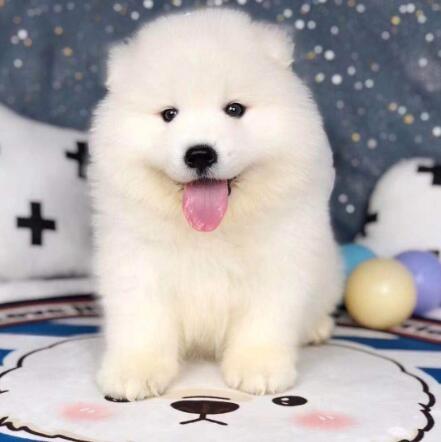 国内冠军级萨摩耶犬培育基地 高端萨摩耶宝宝待售