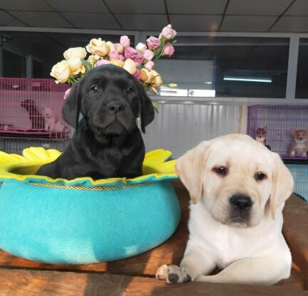 知名犬舍出售多只赛级拉布拉多终身完善售后服务