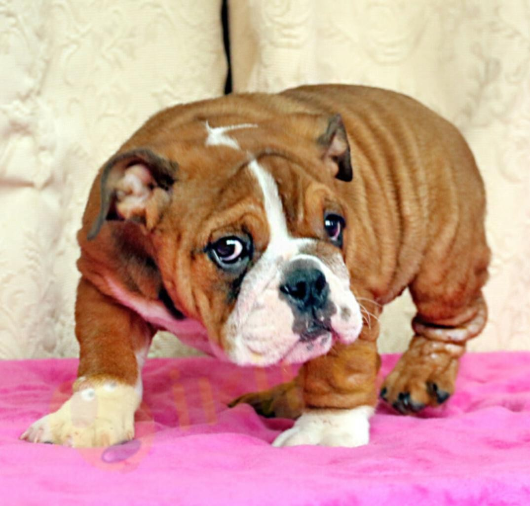 高品质英国斗牛犬在售 保纯种保健康 可签协议