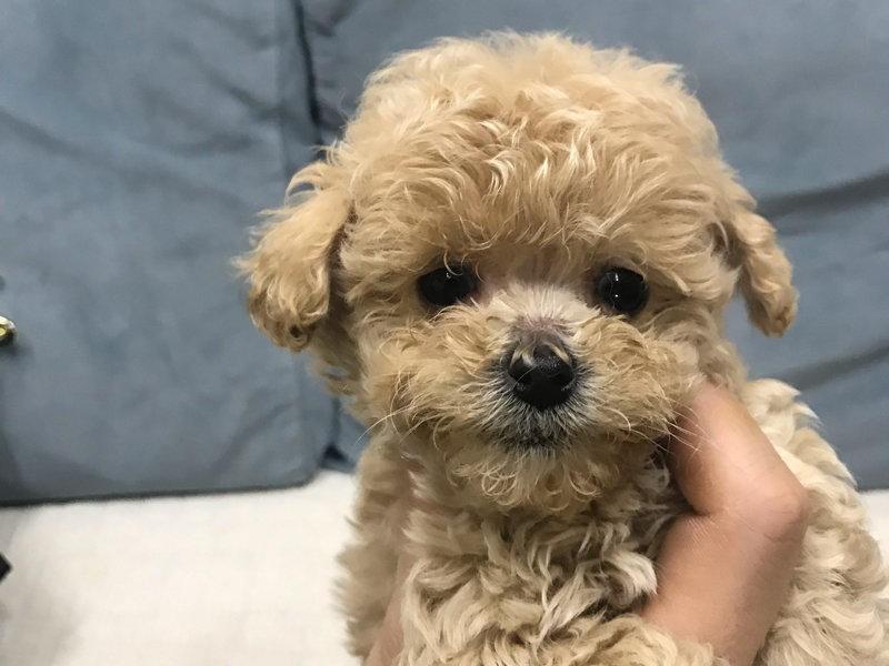 热销多只优秀的纯种泰迪犬幼犬赛级品质血统保障