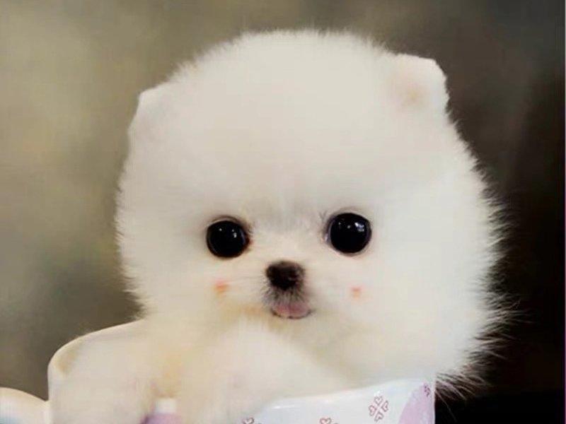 出售博美犬颜色齐全公母都有请您放心选购