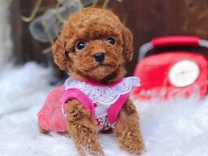出售茶杯犬颜色齐全公母都有微信咨询欢迎选购