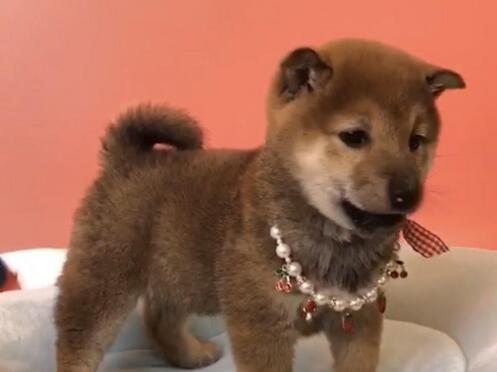 犬舍直销品种纯正健康柴犬国际血统证书