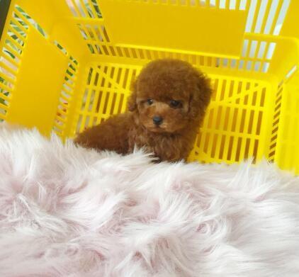自家养纯种泰迪犬转让玩具犬迷你体型泰迪幼犬出售