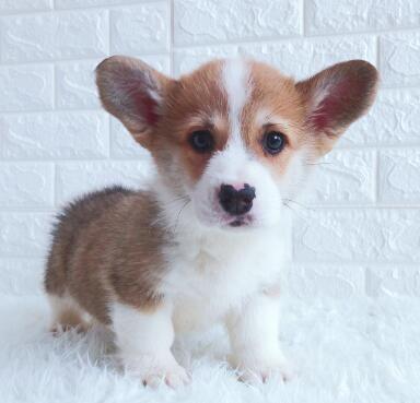犬舍繁殖纯正小短腿柯基犬黄白色和三色均有