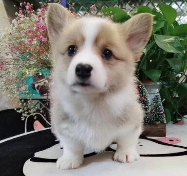 热销柯基幼犬、保证血统纯度、质保全国送货