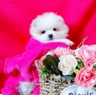 极品博美犬 保纯种保健康 CKU认证犬舍  一犬一证