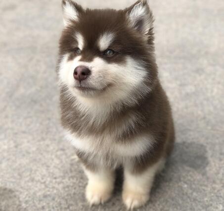 熊版阿拉斯加雪橇犬幼犬售健壮大阿犬幼犬免运