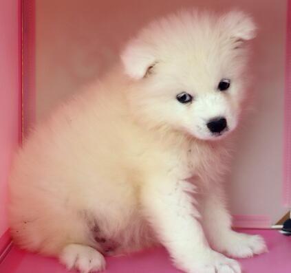 赛级萨摩耶幼犬出售,保证健康纯种。欢迎前来选购