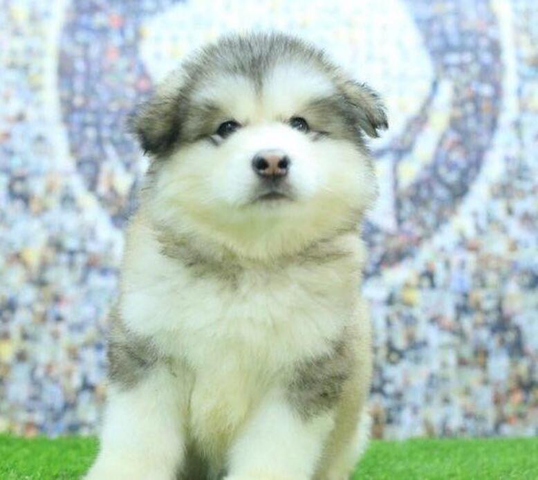 冠军品质的传承!专业繁殖巨型熊版纯种阿拉斯加雪橇犬