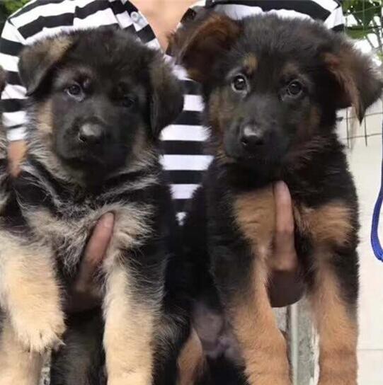 犬舍繁育精品德国牧羊犬自家繁殖已断奶黑背犬