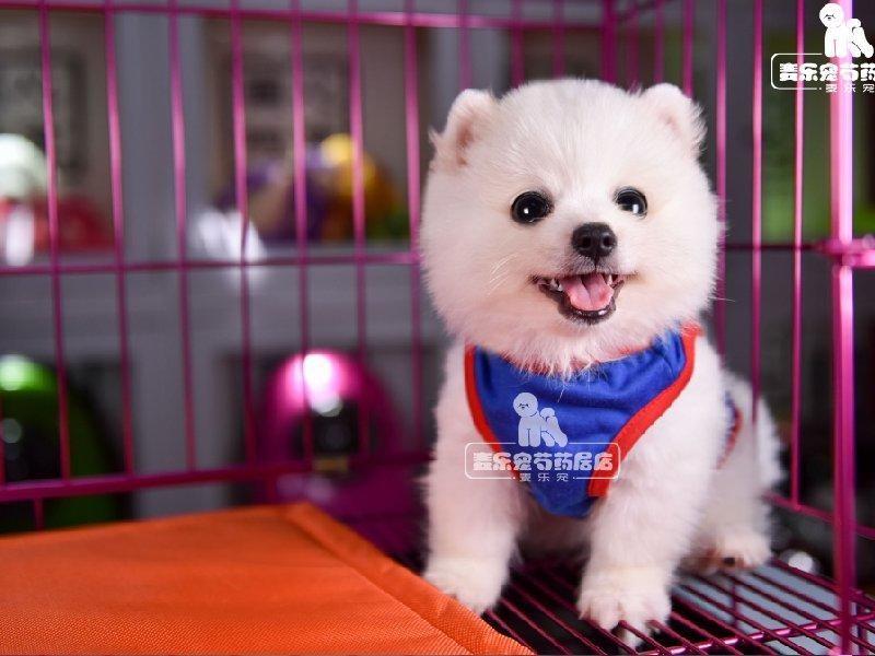 极品博美犬出售 低价热销保健康 讲诚信信誉好