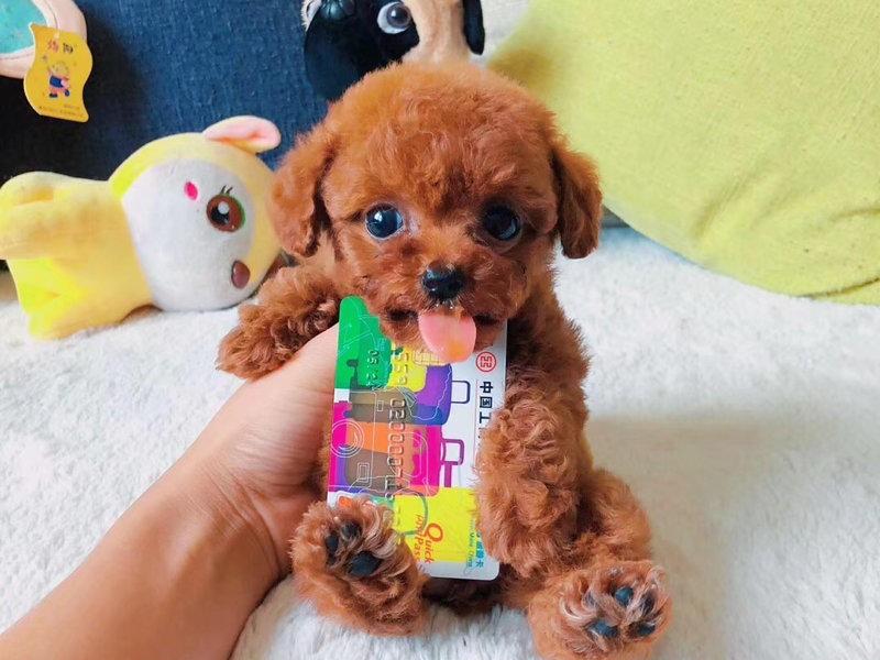 实物拍摄的茶杯犬找新主人全国十佳犬舍