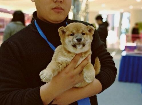 正宗极品柴犬绝对血统纯正微信咨询看狗