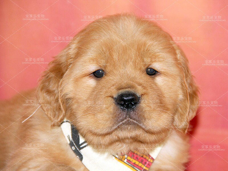 高品质金毛幼犬保纯种保健康 可签协议,完美售后